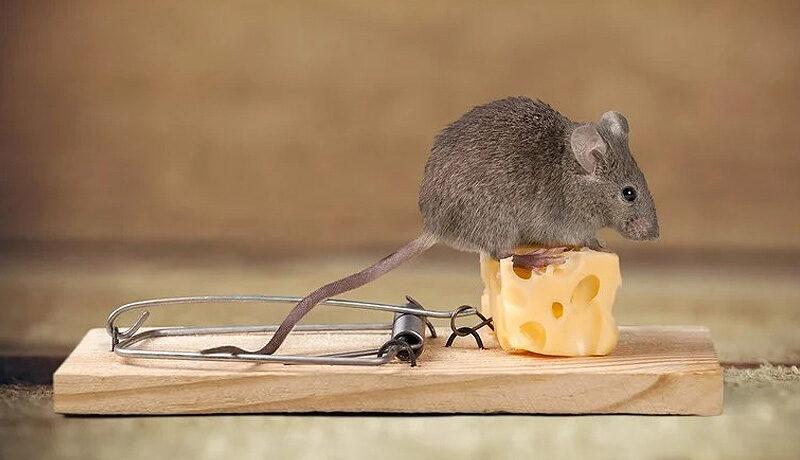 ποντικια